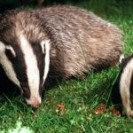Expensive Railway Sleeper Homes for Badgers